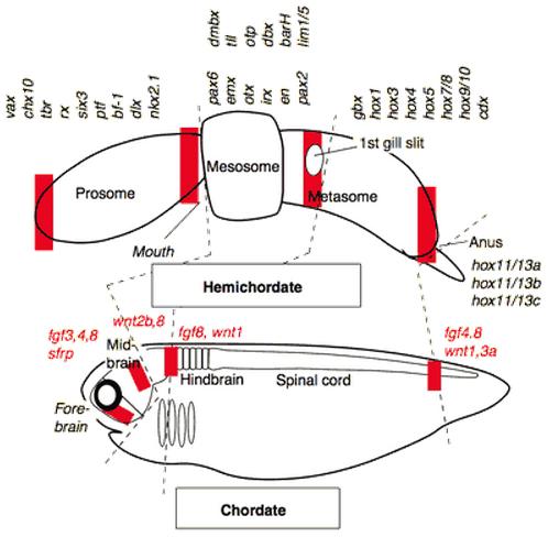 Expressão de genes em Chordata e Hemichordata