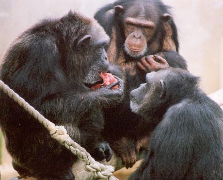 Clicca e scopri il significato del termine: Dois chimpanzé fêmea adulta assiste a um terceiro comer um de seus alimentos favoritos. (Cortesia Sarah Brosnan / Keeling Centro de Medicina e Pesquisa comparativa do MD Anderson Cancer Center)Dois chimpanzé fêmea adulta assiste a um terceiro comer um de seus alimentos favoritos. (Cortesia Sarah Brosnan / Keeling Centro de Medicina e Pesquisa comparativa do MD Anderson Cancer Center)
