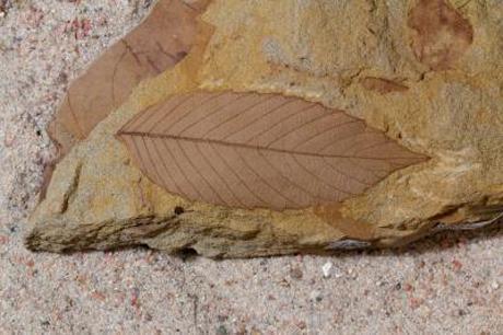 Uma folha fóssil do período Cretáceo analisada no estudo (Cortesia Benjamin Blonder)]