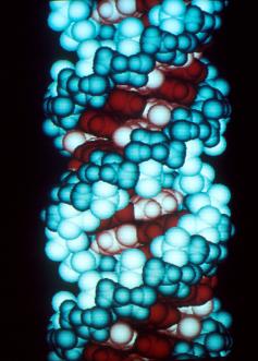 Este é um gráfico de computador de uma molécula de RNA. Crédito: Richard Feldmann / Wikipedia