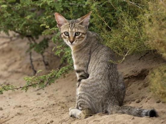 O gato doméstico evoluiu a partir do gato selvagem do Oriente Próximo (foto). iStockphoto / Thinkstock.