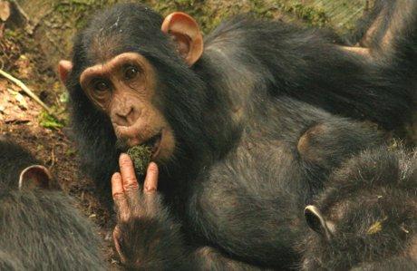 Jovem chimpanzé que aprendeu com sua mãe a usar folhas como uma esponja para beber água. (Foto de Catherine Hobaiter)