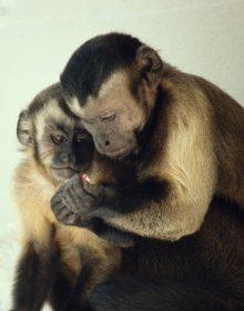 Clicca e scopri il significato del termine: Um macaco-prego jovem observa uma alimentação adulto masculino. (Cortesia Frans de Waal)Um macaco-prego jovem observa uma alimentação adulto masculino. (Cortesia Frans de Waal)