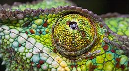 Detalhes do olho de um camaleão. Pálpebras fundidas.