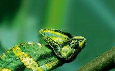 Padrão de coloração característico de camaleões arborículas