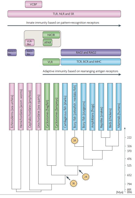Um resumo da evolução do sistema imunológico em deuterostomos. Os estágios da filogenia em que as moléculas do sistema imunológico surgiram. Moléculas restritas aos vertebrados com mandíbulas e sem mandíbula são indicados em azul e verde, respectivamente. Moléculas que surgiram nos invertebrados estão em rosa. Gene (ou genes) RAG como ativação de recombinação (indicados em púrpura) são de origem viral ou bacteriana (a partir da família do transposon transib) e também estão presentes nos genomas de ouriços do mar e anfioxos. Receptores de agnathas emparelhados assemelham-se aos receptores de antigênos (APAR) e novidades no imunorreceptor de ativação baseado em tirosina de receptor contendo as modificações da superfamília de imunoglobulinas (NICIR, também conhecida como receptor de células T-(TCR) estão na superfamília de imunoglobulina de agnathan (IgSF), moléculas que estão relacionadas com os precursores de TCR e receptores de células B (BCR).  1R e 2R indicam as duas rodadas de duplicação todo o genoma (WGD). Se a 2r (a segunda rodada de WGD), ocorreu antes ou após a divergência dos vertebrados com mandíbulas e sem sem mandíbula é controversa; a figura coloca-o após a divergência de acordo com a opinião generalizada. Acredita-se que algum antepassado da maioria dos Actinopterygii tenha  experimentado um adicional, de linhagem específica WGD (designado como 3R) por volta de 320 milhões ano ago. O tempo de divergência dos animais (mostrados em milhões de anos) baseia-se no método Blair e Hedges. MHC, complexo principal de histocompatibilidade; NLR, receptor Nod-like; SR, receptor de limpeza; TLR, receptor Toll-like; VCBP, V-região que contém proteína de ligação de quitina; VLR, receptor de linfócitos variável.