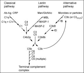 O sistema complemento é um conjunto de 20 a 30 proteínas em cada um dos complexos do plasma sanguíneo e visa a complementação do complexo Ag-Ac. Em evidencia a via clássica, a via lecitina e a via alternativa