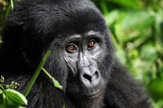 """Mountain Gorilla - Bwindi Uganda. """"Gorilas e os chimpanzés têm visão de cores humana"""", diz Yokoyama. """"Ou talvez devêssemos dizer que os seres humanos têm gorila e chimpanzé visão."""" Crédito: © Alexander / Fotolia"""