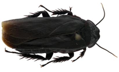 Panesthia guizhouensis,
