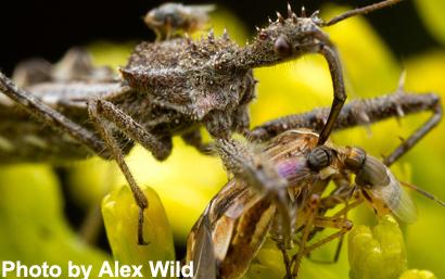 Mosca Chloropidae se alimentando de uma presa alheia.