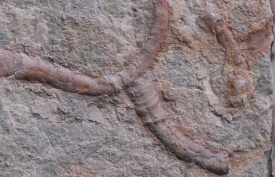 Conotubus. Tridimensionalmente pyritized tubo verme como fósseis, Conotubus, do 550000000 anos de idade Gaojiashan Lagerstätte, província de Shaanxi, sul da China. Crédito: Yaoping Cai, Northwest University, Xi'an, China.