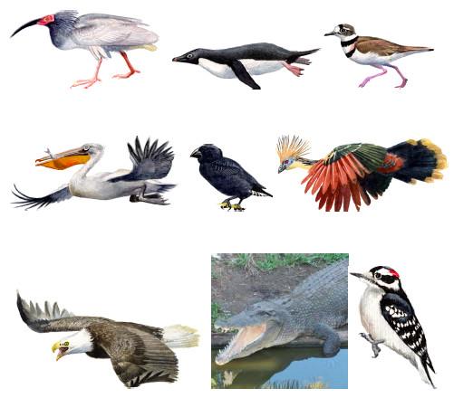 Os crocodilos são os parentes vivos mais próximos dos pássaros, que compartilham um ancestral comum que viveu há cerca de 240 milhões de anos atrás e também deu origem aos dinossauros. Crédito: Stephen J. O'Brien, Avian phylogenomics Grupo
