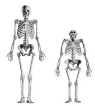 Fósseis indicam que nossos antepassados mais antigos, os australopitecos, eram, há cerca de quatro milhões de anos, bípedes. No caso do A. afarensis (à direita), um dos mais antigos hominídeos, as características incluem o arco dos pés, o polegar não-opositivo e certas características dos joelhos e da pelve. Esses hominídeos, porém, mantiveram algumas características dos macacos como pernas curtas, braços mais longos e dedos dos pés e das mãos curvados, entre outros aspectos