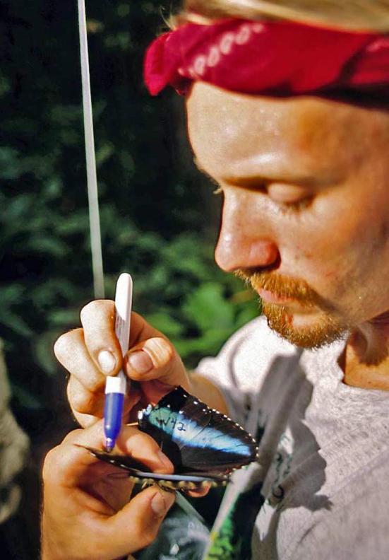 Marcando um indivíduo de Aquiles Morpho (Nymphalidae, Morphini) na floresta amazônica equatoriana. Foto por P. J. DeVries.