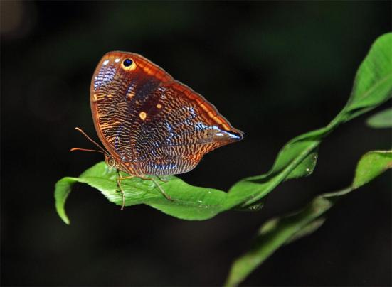 Bia actorion (Nymphalidae, Brassolini) in Ecuadorean Amazon rainforest understory.  Photo by P.J. DeVries.