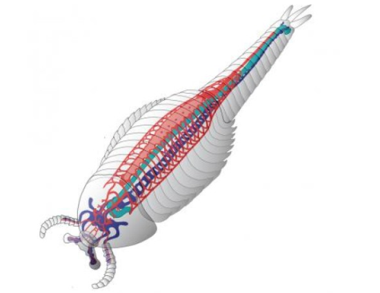 Esta imagem mostra uma reconstrução esquemática do animal, definindo o sistema cardiovascular em vermelho, o cérebro e sistema nervoso central em azul e verde no intestino. Crédito: Nicholas Strausfeld