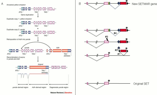 Mecanismos de romance originação gene. Os painéis A e B mostram exemplos de novo origem gene que envolvem uma combinação de vários mecanismos moleculares e eventos. O painel A ilustra os vários mecanismos que deram origem ao gene Jingwei, incluindo duas duplicações do gene ancestral Imperador Amarelo para formar o gene iandé, retroposição do gene Adh em iandé e exão baralhar (recombinação) entre iandé e Adh para formar Jingwei . Painel B ilustra a origem do gene SETMAR primata quimérico. Aqui, o transposão Hsmar1 (barra vermelha) foi inserido no gene preexistente SET (barra de cor de rosa), e em seguida um novo exão (barra verde) e o intrão foram formados de novo a partir de regiões não codificadoras previamente. (A) © 2008 Nature Publishing Group. Longo, M. et al. A origem dos novos genes: vislumbres do novo e velho. Nature Reviews Genetics 4, 865-875 (2003). Todos os direitos reservados; (B) © 2006 Academia Nacional de Ciências dos EUA. Cordaux, R. et al. Nascimento de um gene quimérico primata pela captura do gene transposase a partir de um elemento móvel. PNAS 103, 8101-8106 (2006).