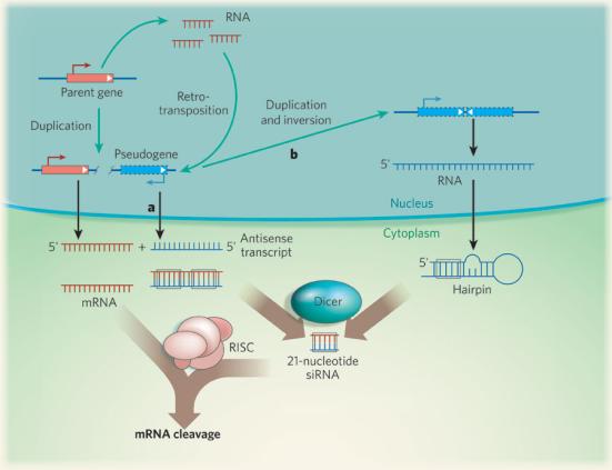 produção mediada por pseudogene endógenos de pequenos RNAs interferentes (endo-siRNAs) (A) Pseudogenes pode surgir através da cópia de um gene-pai, por duplicação ou por retrotransposição. Um transcrito anti-sentido do pseudogene e um transcrito de ARNm do seu gene pai pode então formar um RNA de cadeia dupla. (B) endo-siRNAs pseudogenico também pode surgir por meio de cópia do gene pai (como no painel a) seguido de duplicação e inversão desta cópia nas proximidades. A transcrição subsequente de ambas as cópias resulta em um longo RNA, que se dobra, e como uma metade desta molécula é complementar a outra metade. Em ambos os paineis e o painel b, o RNA de cadeia dupla é cortado por Dicer em 21-endo-siRNAs de nucleotídeos, que são guiados pelo complexo RISC para interagir e degradar os transcritos de RNAm do gene pai. O RNAm de genes é a vermelho e pseudogenes do que é em azul. As setas verdes indicam rearranjos de DNA. © 2008 Nature Publishing Group Sasidharan, R. et al. Genomics: fósseis de proteína viver como RNA. Nature 453, 729 (2008).