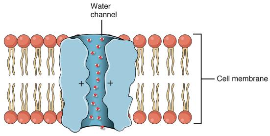 aquaporina 2