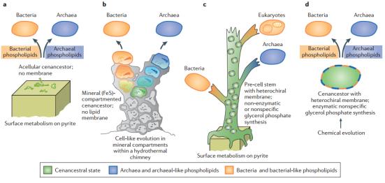 Modelos explica a evolução precoce de vias de biossíntese de fosfolipídios em archaeas e bacterias. A) evolução independente da biossíntese de fosfolipídios de um ancestral acelular. B) evolução independente da biossíntese de fosfolipídios de uma compartimento ancestral delimitado por um mineral. C) Evolução das vias de biossíntese de fosfolipídios específicos em archeas e específicas de bactéria em pré-células com membranas heteroquirais. D) Evolução das vias de biossíntese de fosfolipídios específicas em archaeas e bactérias de um ancestral celular com membranas heteroquirais que são sintetizadas via enzima universal, mas com substrato inespecífico.