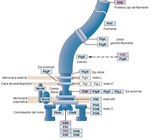 Flagelo bacteriano - Visualização com base nas proteínas