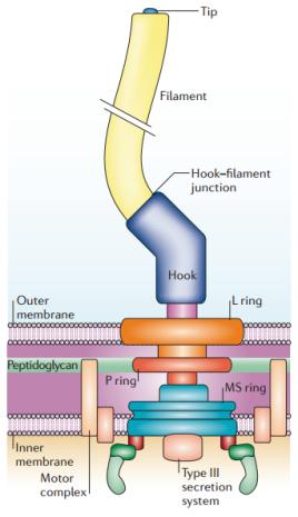 Flagelos bacterianos são diferentes em forma, função e evolução de ambos archaeas e eucarióticos. O flagelo bacteriano arquetípico é o da Salmonella enterica do sorotipo Typhimurium que consiste de um corpo basal, incorporado na parede da célula, e duas estruturas axiais, o arco (Hook) e filamentos, que são unidos. O corpo basal consiste na somatória do anel MS, haste (Rod), e anéis L e P. Os componentes das estruturas axiais são exportados a partir da célula pelo sistema flagelar de secreção do tipo III (T3SS), que consiste de várias proteínas do anel MS e um periférico ATPase Flii hexamérico de que impulsiona o processo todo. A rotação dos flagelos bacterianos é alimentada por uma força protônica (ou por sódio). O motor flagelar converte energia electroquímica através de uma interação entre os dois componentes: o estator e o rotor. O estator consiste de múltiplas cópias de duas proteínas, MotA e MoTB, que montam uma estrutura associada a membrana interna e ancorada a um peptidoglicano, de modo que ele permanece estacionário. O rotor consiste de múltiplas cópias de Flig, que, em conjunto com FliM e Flin formam o anel C, montado na face citoplasmática do anel MS. O torque é transmitido a partir do anel C para o anel de MS e este para a haste (rod) e de lá para o arco (hook) e depois para o filamento flagelar helicoidal. A rotação deste filamento helicoidal converte em empuxo, conferindo motilidade a célula. Vários fatores solúveis estão envolvidos na coordenação da montagem do aparelho flagelar, incluindo o fator flagelar σ Flia e a proteína do arco (hook) gancho de comprimento (Flik).