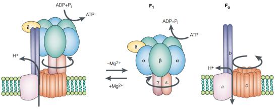 Estrutura da ATP sintase. O ATP sintase bacteriana é ilustrada como a versão mais simples da ATP sintase. é composto por um complexo de proteína solúvel em água