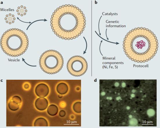 As primeiras membranas celulares provavelmente auto-montáveis surgiram a partir de moléculas simples de cadeia simples anfifílicas, tais como ácidos monocarboxílicos ou álcoóis. Em contraste com as monocamadas de micelas, ou de vesículas que expõem grupos hidrófilos para o exterior e dependem de uma bicamada, sendo capaz de encapsular um certo volume de solução, dependendo da permeabilidade da bicamada, criando gradientes de moléculas e íons. Além disso, as vesículas podem crescer e espontaneamente por divisão. Do ponto de vista da biopoese, estas são propriedades interessantes que fizeram vesículas de compostos anfifílicos substituir os coacervatos de Oparin (agregados proteicos) em modelos de formação da célula primitiva. A possibilidade de incorporar os blocos de construção, de replicar polímeros genéticos dentro dessas vesículas converteu essas vesículas em um modelo atraente e tratável para experimentos de biologia sintética e formação de protocélulas em vitro. Esta linha de pesquisa está progredindo rapidamente, ao ponto que o foco tradicional na auto-manutenção (metabolismo) como um grande propriedade de vida, juntamente com a auto-replicação (um sistema genético), está mudando para um foco na auto-montagem (de membranas). Quais os tipos de compostos anfifílicos estavam disponíveis na Terra primitiva e poderia servir para a auto-montagem de protomembranes? Duas fontes de tais compostos são conhecidos. A primeira fonte é extraterrestre e consiste de matéria orgânica entregue por meteoros condritos carbonáceos. Estes meteoritos primitivos são enriquecidos com compostos orgânicos, incluindo aminoácidos e uma variedade de moléculas anfifílicas; tais moléculas podem montar-se em vesículas espontaneamente, como demonstrado em 1985. A segunda fonte é terrestre e corresponde à formação de hidrocarbonetos abiótico por síntese de Fisher-Tropsch, que envolve a reação de monóxido de carbono e hidrogênio para formar hidrocarbonetos na presença de ferro, catalisadores sob 