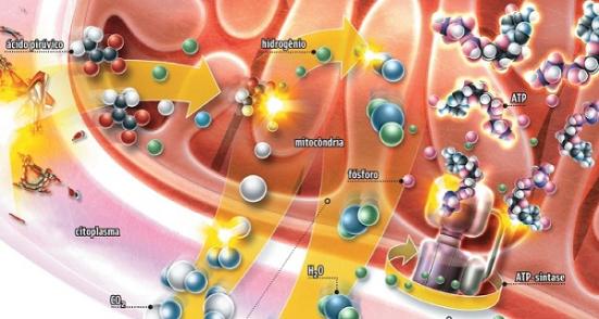 Bioquímica de Mitocôndria