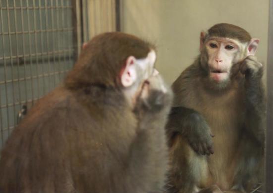 Esta é uma cena de experimentos mostrando que os macacos rhesus pode aprender a se reconhecer no espelho. Crédito: Neng Gong e colegas / Current Biology 2015
