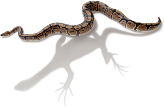 Esqueletos de cobras são tão regionalizada como lagartos, apesar da perda de membros e aumento no número de vértebras. Crédito: Craig Chandler, Angie Fox, Jason Head, da Universidade de Nebraska-Lincoln