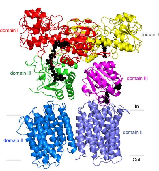 O novo estudo fornece insights sobre como uma enzima crítica mitocondrial, transhydrogenase (TH), trabalha em um processo que é fundamental para manter as células saudáveis. Crédito: Josephine Leung, cortesia do laboratório Stout, The Scripps Research Institute