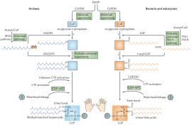 Vias de biossíntese de fosfolipídios em archaea, bactérias e eucariotas. Para algumas etapas nas vias, há evidências filogenômicas que suportam a hipótese de que as enzimas homólogas realizavam um passo específico no ancestral (proteínas ou vias universais) o que indica a presença de enzimas relevantes no ancestral não pode ser excluído. Citidina difosfato-álcool arque-tidil-transferase (CDP-AAT) e CDP-álcool fosfatidil-transferase (CDP-APT) são homólogos nas duas vias.