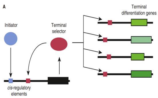Criação e manutenção da expressão de genes de diferenciação terminais necessários para definir um tipo específico de neurônio sensorial em um nematóide. Uma série de eventos reguladores de genes (não mostrados) produz, transitoriamente, um ativador representado como uma bola azul. Este liga-se ao ativador de cis-regulação estabelecendo a sequência (azul cubo), e ativa a transcrição de um gene seletor de terminal. Este último, é um outro ativador de transcrição, em seguida, mantém a transcrição de seu próprio gene, uma vez que ativa os genes necessários para as funções específicas do neurônio.