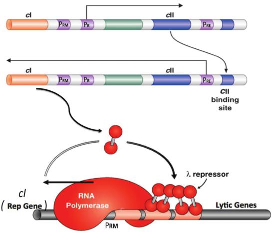 """Criação e manutenção de um ciclo de feedback positivo em um Bactéria. Representado aqui estão alguns dos 50 genes de bacteriófago lambda. A transcrição prolonga-se através do gene cll. A proteína CII, um ativador de transcrição, então ativa a transcrição para a esquerda e inclui o gene cl. A proteína cl, um outro ativador de transcrição, ativa a expressão do seu próprio gene (uma reação de feedback positivo) e para a direita reprime a transcrição, incluindo a de cll. Este ciclo de feedback, uma vez estabelecido, é estável por muitas divisões celulares como o que vem produzibdo continuamente a proteína CI (chamado o repressor lambda) e é distribuído para as células filhas. As bactérias são """"lisogênicas"""" em exposição a um sinal (por exemplo, luz UV) inativo  repressor, genes de fago previamente silenciosos são expressos, e a lise de células com a produção de muitas novas partículas de fago. PRE, PRM, e PR designam o """"estabelecimento"""", """"manutenção"""" e """"promotores"""", respectivamente."""