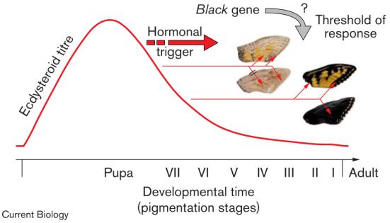Modelo de temporização mostrando como o pigmento de cor de síntese pode ser ligado à concentração da hormona ecdisteróide caindo no pupa antes da eclosão. Neste modelo, papiliochrome síntese é desencadeada mais cedo, quando a concentração da hormona é elevado; mais tarde, quando a concentração de hormônio é baixa, ocorre melanization. Especula-se que o gene preto interfere com este processo através da modulação da resposta de escamas amarelas presumíveis para o título hormona cair. Um mecanismo pelo qual uma tal mudança pode ocorrer é através de exibição diferencial de receptores hormonais