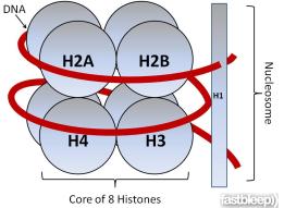 Tipos de Histonas: 1) H1/H5 - A histona H1 é também conhecida como H5, para a estrutura básica da cromatina é constituído por 200 pares de bases de DNA associados a um octâmero de histonas, duas moléculas de cada histona e uma molécula da histona H1. 2) H2A e H2B - As histonas H2A e H2B possuem peso molecular muito inferior ao da histona H1. Ambas H2A e H2B consideradas ricas em lisinas.1 3) H3 e H4 - são ricas em arginina. Duas histonas de cada classe (H2A, H2B, H3 e H4) agregam-se para formar um nucleossoma, juntamente com DNA. A histona H1 é necessária para que os complexos histona-DNA formem uma fibra de 30 nm de espessura, enrolando assim o DNA de uma forma ainda mais eficaz.