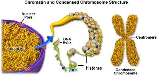 As histonas são as principais proteínas que compõem o nucleossomo. Têm um papel importante na regulação dos genes. São encontradas no núcleo das células eucarióticas. As histonas das Archaea são semelhantes às histonas precursoras nos eucariotas. São conhecidas 5 classes de histonas, não contando as histonas dos Archaea: As histonas funcionam como a matriz na qual o DNA se enrola. Têm um papel importante na regulação dos genes. Ao compactarem o DNA, permitem que os genomas eucarióticos de grandes dimensões caibam dentro do núcleo das células. Podem sofrer modificações pós-translacionais. Estas modificações podem desempenhar um papel importante na regulação dos genes, de maneira epigenética. A regulação ocorre na caixa TATA. As histonas são produzidas no citoplasma e importadas para o núcleo da célula. Ricas em lisina e arginina. São solúveis em água. Estão sujeitas a modificações pós-traducionais, essencialmente N-terminais, mas também nos domínios globulares. Exemplos de modicações deste tipo são: metilação, acetilação, fosforilação e ribosilação. Geralmente, os genes mais activos têm menos histonas ligadas. Durante a interfase, as histonas estão intimamente associadas a genes inactivos. A estrutura das histonas tem sido bem conservada em termos evolutivos.