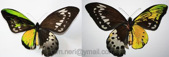 GinardOrnithoptera goliath procus (Papilionidae)