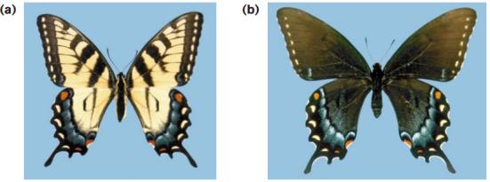 (a) do tipo selvagem feminino com teste padrão amarelo e preto normal. (b) do sexo feminino Melanic em que a maioria do fundo amarelo é substituído com preto.