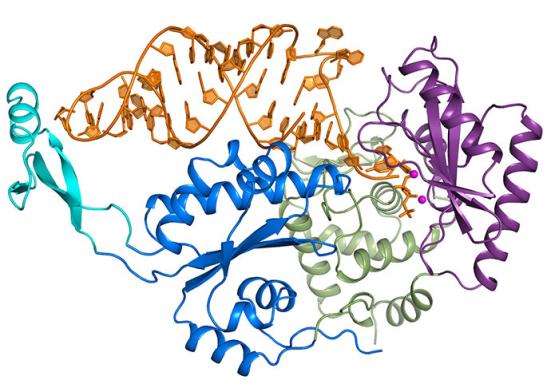 Uma fotografia molecular da enzima CCA-acrescentando em complexo com um RNA revela uma notável, novo mecanismo de revisão. Em geral, máquinas enzimáticos são responsáveis pela capina e corrigir os erros. Mas uma equipe de cientistas do MIT CSHL e descobriu que a enzima CCA-adicionando (mostrado aqui no azul, verde e roxo) não editar em tudo. Em vez disso, o ARN (cor de laranja) tem um mecanismo interno que lhe permite corrigir em si. Crédito: Cortesia da imagem do Laboratório Cold Spring Harbor