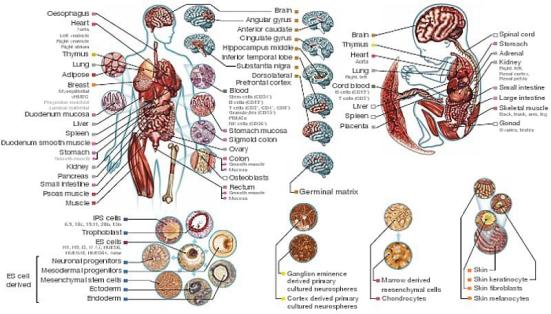 O estudo analisou 111 epigenomas em 58 características anatômicas e funcionais destaques. (Cortesia M. Kellis et al / Nature)