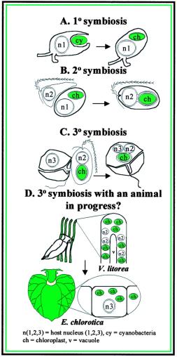 Simbiose e evolução das algas eucarióticas. Exemplos representativos de tipos de eventos responsáveis pela endossimbiose, aquisições múltiplas de fotossíntese em eucariotas são mostrados no esquema. Em (A), o evento simbiótico original, que acredita-se ter sido entre um protista flagelado primitivo (n1 representa o núcleo do protista) e cianobactérias (cy). A perda massiva e transferência de genes ocorreu entre as cianobactérias e n1, resultando na formação de um cloroplasto intracelular obrigatório (ch). Em (B) Um Stramenopile hipotético ancestral heterotrófico (núcleo representado por n2) que incorpora uma alga eucariótica fotoautotrófica. A transferência de genes em massa ocorreu entre n1 e n2, resultando na perda de n1 e divergência nas cromofitos. Em (C), dinoflagelados heterotróficos hipotético (n3) incorporando uma cromofitos. Neste exemplo, n2 é retida. Em outros eventos simbióticos, a transferência de genes entre n2 e n3 ocorreu, resultando em n2 se tornando muito reduzido (nucleomorfo) ou perdido. Em (D), a macroalga cromofitos V. litorea sofre simbiose com E. chlorotica como resultado da alimentação adaptado a sucção pelas lesmas marinhas juvenis sobre os filamentos de algas. Os núcleos V. litorea (n2) são perdidos, e apenas os cloroplastos intactos (ch) são retidos no citoplasma das células que revestem o divertículos digestivo.