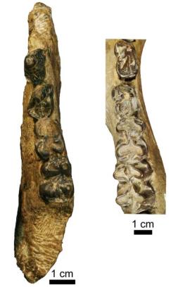 Right, uma mandíbula de hemi Epirigenys lokonensis com pré-molares e molares 3 e 4 1 e 2. Em comparação com, à esquerda, uma mandíbula hemi de um fóssil hippopotamid. Crédito: © LPRP / J.-R. boisserie