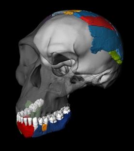 Alguns pesquisadores especulam que pelo menos duas espécies de Homo 'cedo' existiu entre 3 milhões a 2 milhões de anos atrás. Crédito: Philipp Gunz, Simon Neubauer e Fred Spoor