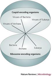 Vírus e da árvore da vida Embora a maioria dos biólogos argumentam que os vírus não são seres vivos, alguns argumentam que os vírus devem ser incluídos na árvore da vida. Todos os organismos, eles argumentam, deveria ser dividido em organismos que codifica ribossomo (REOs) e organismos que codifica o capsídeo (CEOs). Bacteria, Archaea, e eucariotas são REOs; vírus são CEOs