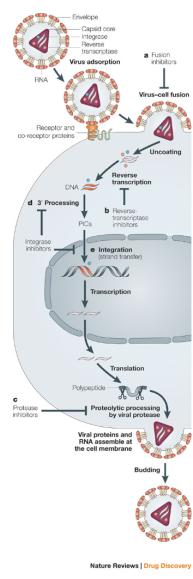 A replicação de retrovírus Depois de um retrovirus entra na célula hospedeira, a transcriptase reversa converte o genoma de ARN retroviral em DNA de cadeia dupla. Este ADN virai migra para o núcleo e torna-se integrado no genoma do hospedeiro. Genes virais são transcritos e traduzidos. Montar novas partículas virais, sair da célula, e pode infectar uma outra célula. © 2005 Nature Publishing Group