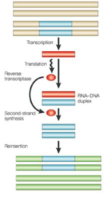 Retrotransposões de replicação viral de tipo Transcrever RNA polimerases celulares retrotransposões, formando uma cópia de RNA do elemento. Após a tradução, transcriptase reversa converte a RNA retrotransposon em DNA de cadeia dupla. Esta cópia de DNA do retrotransposão então integra, em um novo local, no genoma da mesma célula. © 2001 Nature Publishing Group