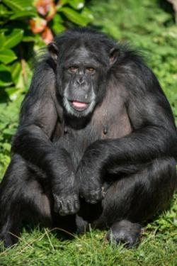 Chimpanzé. Os humanos compartilham mais de 90% do seu DNA com os seus primos primatas. A expressão ou actividade padrões de genes diferem entre as espécies de formas que ajudam a explicar a biologia e comportamento distinto de cada espécie. Crédito: © Dave Hunt foto / Fotolia