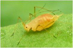 Acyrthosiphon pisum (Hemiptera)